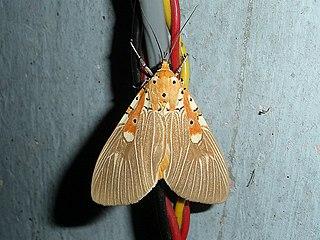 <i>Asota ficus</i> Species of moth