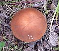 Aspen scaber-stalk Leccinum insigne - Flickr - gailhampshire.jpg