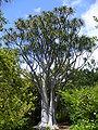 Asphodelaceae Aloe barberae.jpg
