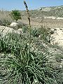 Asphodelus albus.jpg