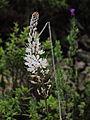 Asphodelus albus 086.JPG