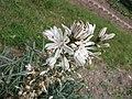 Asphodelus ramosus -巴黎植物園 Jardin des Plantes, Paris- (9229778432).jpg
