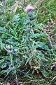 Asterales - Cirsium vulgare - 1.jpg
