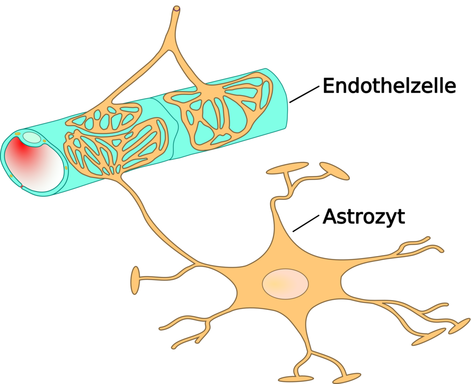 Astrocyte endothel interaction 01