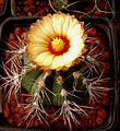 Astrophytum flowers 128.jpg