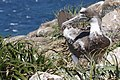 Atobá (Sula leucogaster) filhote trocando a plumagem entre 2 a 4 meses de idade.jpg