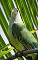 Atoll Fruit Dove - Fakarava.jpg
