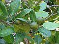 Atractocarpus fitzalanii subsp. fitzalanii fruit Kewarra 4805.jpg