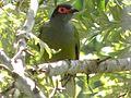 Australasian Figbird - Male (Sphecotheres vieilloti) 05.JPG