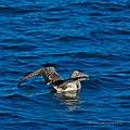 Australasian gannet Shorncliffe Pier Shorncliffe Bramble Bay Queensland P1010262.jpg