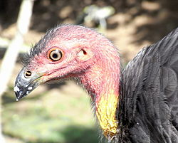 Australian Brush-Turkey Head.JPG