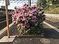 Azalea flowers on platform of Kashii Station 3.jpg