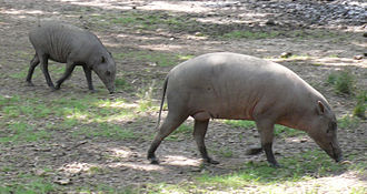 "North Sulawesi babirusa - Females and young both lack obvious ""tusks""."