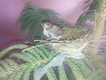 Baby sparrow, redy for flying.jpg