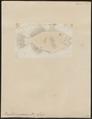 Balistes viridescens - 1700-1880 - Print - Iconographia Zoologica - Special Collections University of Amsterdam - UBA01 IZ15400067.tif