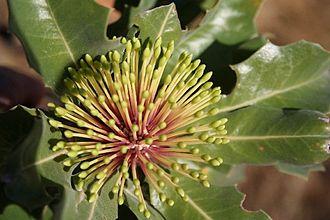 Banksia subg. Isostylis - Image: Banksia ilicifolia marchetti latebud 2 email