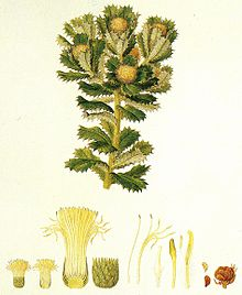Old painting of segment of plant with leaves and blooms on white background with several anatomical cross sections of flower parts beneath