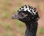 Bare-faced curassow (Crax fasciolata) female head.JPG