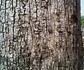 Bark of Madhuca longifolia.jpg