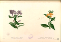 Barleria spp Blanco1.214-original.png