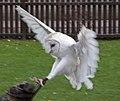 Barn Owl5 (5086601737).jpg