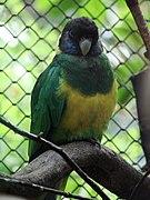 Barnardius zonarius (Wroclaw zoo)-1.JPG