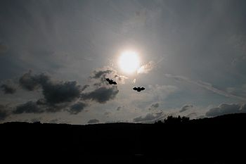 English: bats flying at dusk