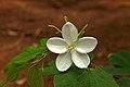 Bauhinia acuminata-വെള്ളമന്താരം.jpg