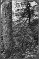 Bear Grass - NARA - 299036.tif