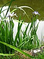 Bearded Iris - geograph.org.uk - 2410037.jpg
