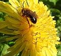 Bee (27375726433).jpg