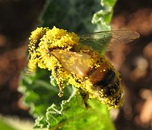 Bee carry pollen 018a.jpg
