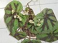 BegoniaMasonianaFlowers1.jpg