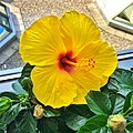 Belleville Ontario - Canada - Beautiful Yellow Hibiscus with focus on Stamen and Pistil (39312199112).jpg