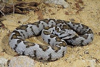 Viperidae - Ottoman viper, Vipera xanthina