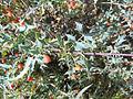 Berberis haematocarpa1.jpg