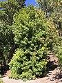 Berkeley Yangmei Tree.jpg