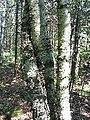 Betula papyrifera bark 1-eheep (5097509959).jpg
