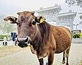 Big Buddha Sacred Cow.jpg
