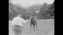 Archivo:Biography of a Stag - Raymond L. Ditmars - 1918, Educational Films - EYE FLM27912 - OB 687121.webm