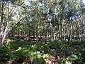 Birch woodland at Arne Nature Reserve - geograph.org.uk - 1769422.jpg