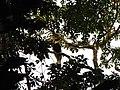 Bird Great Hornbill Buceros bicornis IMG 8659 15.jpg