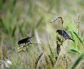 Bird In Wheat Field-1.jpg