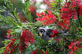 Bird on Bottlebrush (6226075908).jpg