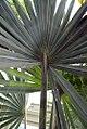 Bismarckia nobilis Silver Select 1zz.jpg