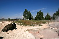 Bison at hot spring in yellowstone.jpg