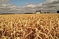 Blé tendre (Picardie)Cl J Weber06 (23715329749).jpg
