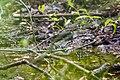 Black-and-white warbler (26314726095).jpg