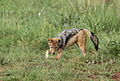 Black-backed jackal, Canis mesomelas, a young one playing with a root as a puppy plays with a ball at Rietvlei Nature Reserve, Gauteng, South Africa (15850089748).jpg