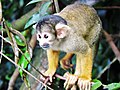 Black-capped squirrel monkey (Chalalan).jpg